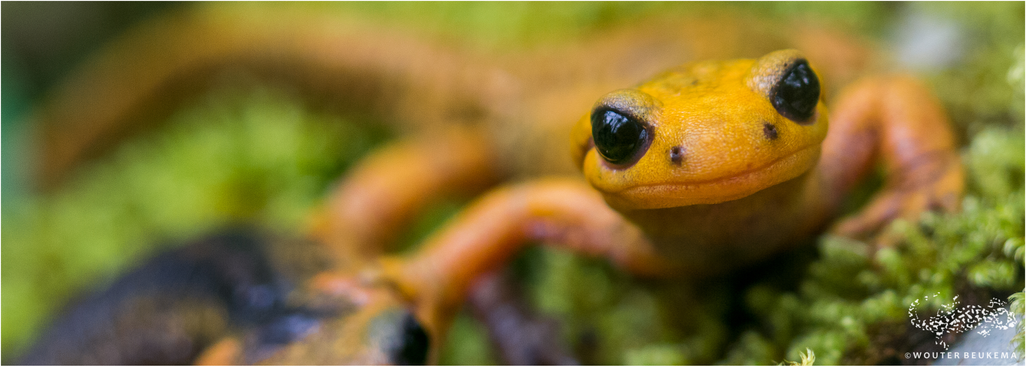 Salamanders and newts at risk